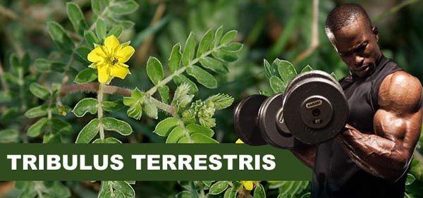 Tribulus Terrestris e a Musculação