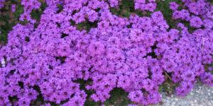 Imagem de Verbena: uma erva benéfica para o praticante de musculação