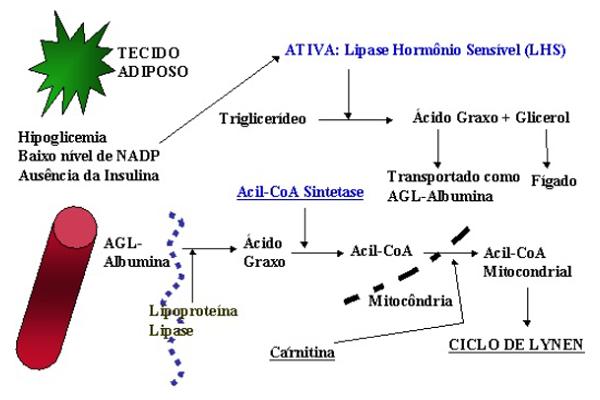 ak57 arzător de grăsime metabolică