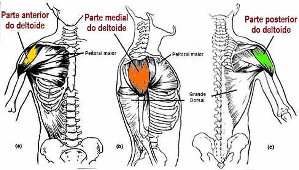 Anatomia dos Deltoides