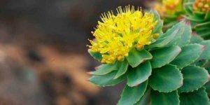 Imagem de Rhodiola Rosea: Aprenda tudo sobre essa Planta!