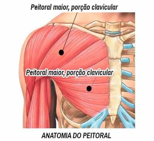 Anatomia do Peitoral