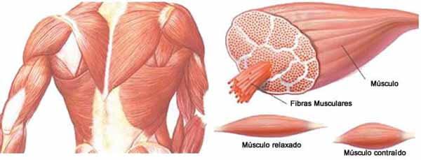 Desenho musculatura humana